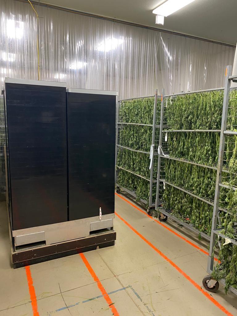Hanging Plants Cannabis Drying
